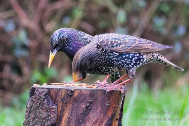 Day 4. Remote Starling